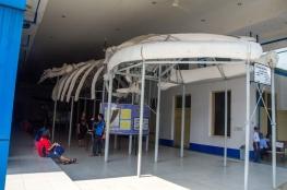 kerangka ikan paus